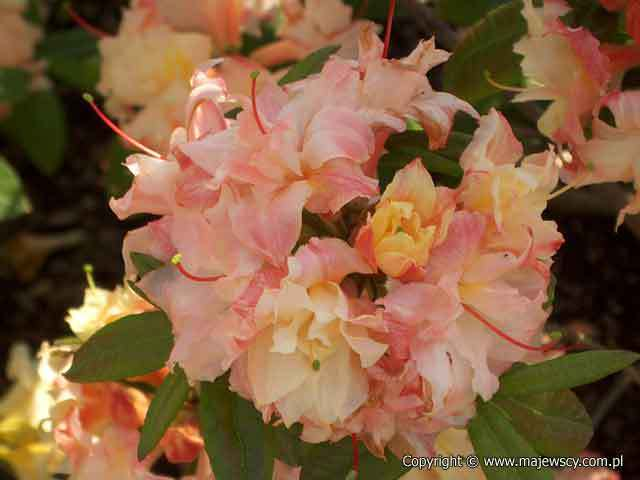 Rhododendron (Knaphill) 'Canon's Double'  - крупноцветущая азалия odm. 'Canon's Double'