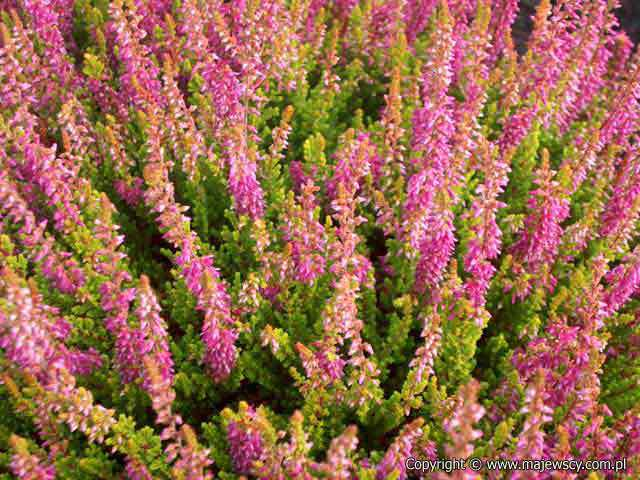 Calluna vulgaris 'Colette'  - common heather odm. 'Colette'