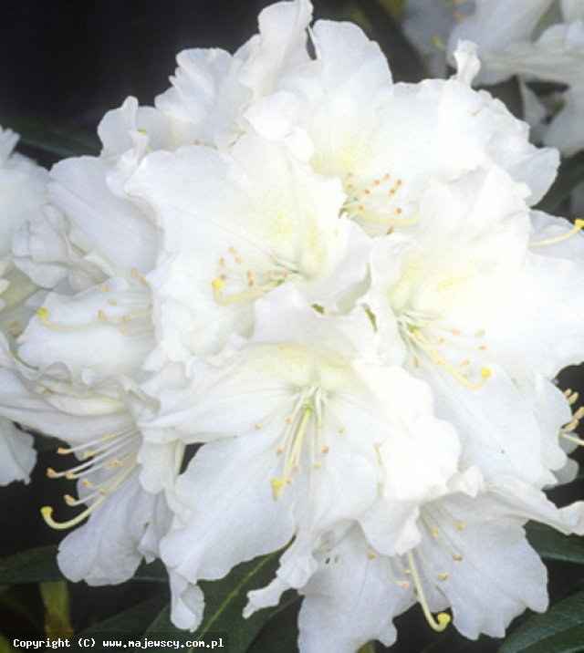 Rhododendron hybride 'Cunningham Snow White'  - różanecznik odm. 'Cunningham Snow White'