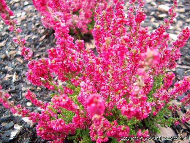 Calluna vulgaris 'Dark Beauty' &reg - common heather odm. 'Dark Beauty' &reg