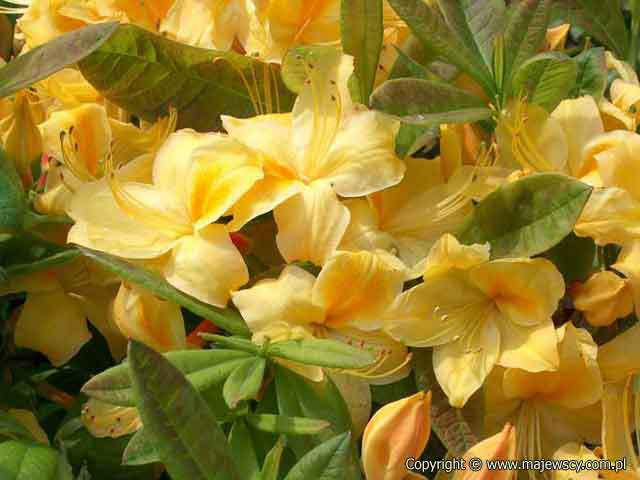 Rhododendron (Knaphill-Exbury) 'Golden Sunset'  - large-flowered azaleas odm. 'Golden Sunset'