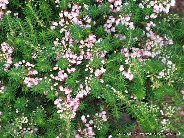 Erica vagans 'Holden Pink'  - cornish heath odm. 'Holden Pink'