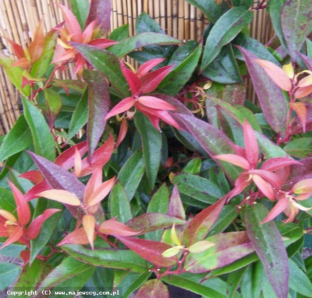 Leucothoe keiskei 'Royal Ruby'  -  odm. 'Royal Ruby'
