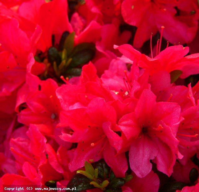 Rhododendron obtusum 'Little Red'  - японская азалия odm. 'Little Red'