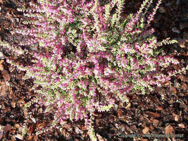 Calluna vulgaris 'Red Pimpernel'  - вереск обыкновенный odm. 'Red Pimpernel'