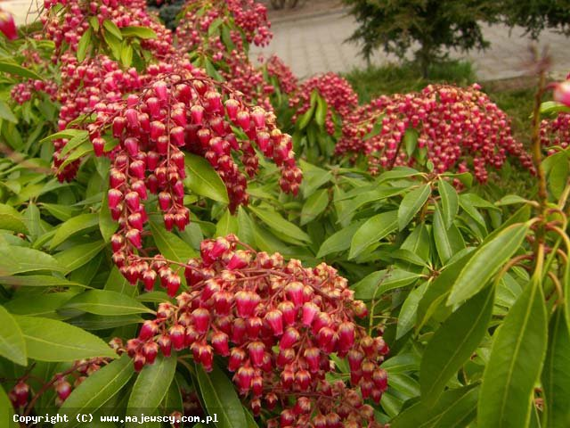 Pieris japonica 'Valley Vallentine'  - перис японский odm. 'Valley Vallentine'
