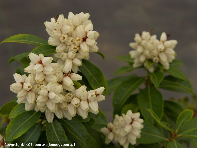 Pieris japonica 'White Pearl'  - перис японский odm. 'White Pearl'