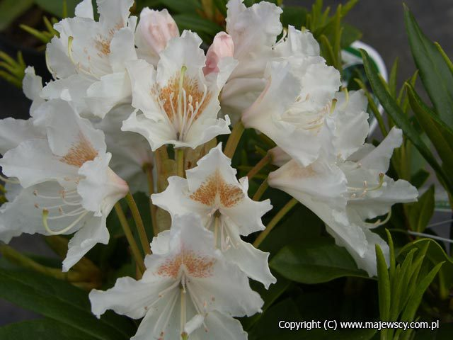 Rhododendron hybride 'Cunningham White'  -  odm. 'Cunningham White'