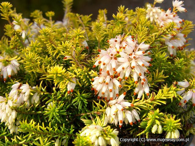 Erica carnea 'Golden Starlet'  - spring heath odm. 'Golden Starlet'
