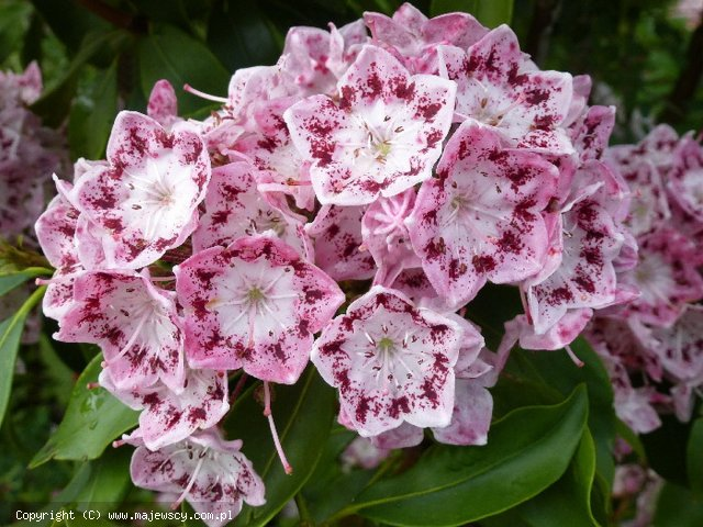 Kalmia latifolia 'Ideal'  - kalmia szerokolistna odm. 'Ideal'