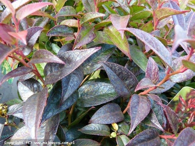 Leucothoe fontanesiana 'Little Fire'  -  odm. 'Little Fire'