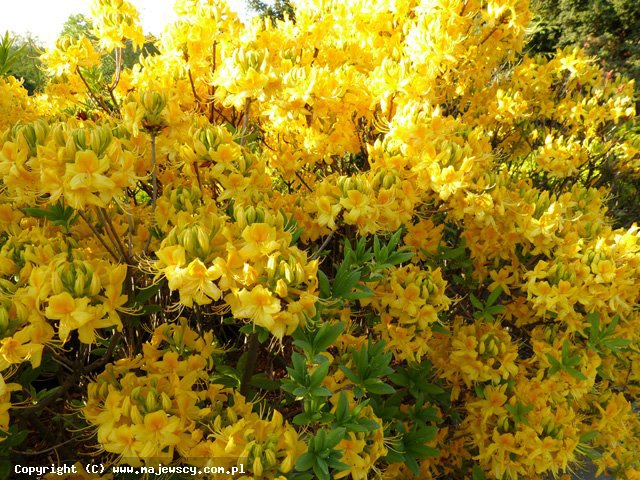 Rhododendron luteum 'Pontica'  - рододендрон odm. 'Pontica'