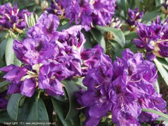 Rhododendron catawbiense 'Lee's Dark Purple'  - różanecznik katawbijski odm. 'Lee's Dark Purple'